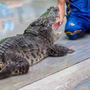 21231246 - crocodile show at crocodile farm